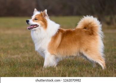 Typical icelandic sheepdog (27)