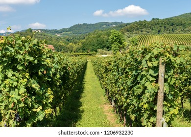 Typical Italian red grape vineyards of the Valpolicella Wine at the base of the hill near Verona, Italy, Europe