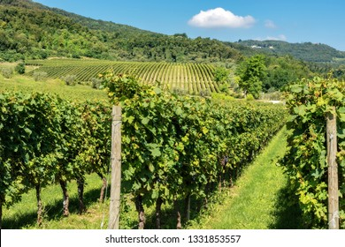 Typical Italian red grape vineyards of the Valpolicella Wine at the base of the hill near Verona, Veneto, Italy, Europe
