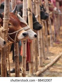 Typical Kurbani Cattle Market in Bangladesh