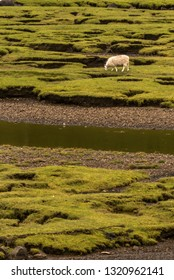 typical landscape with sheep on the Isle of Sky, Inner Hebrides, Scotland, United Kingdom
