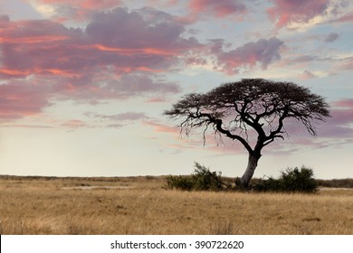Typical large Acacia tree in the open savanna plains of East Africa, Botswana Hwankee