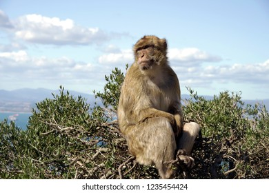 Typical monkey of the Rock of Gibraltar.