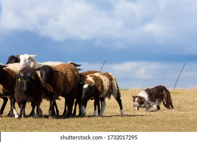 Typical movement of a brown border collie while herding sheep