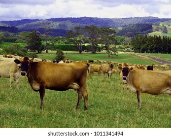 A typical New Zealand landscape with a herd of dairy cows alongside the highway