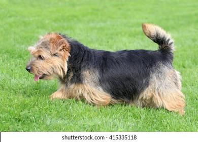 Typical  Norfolk Terrier   in the spring garden