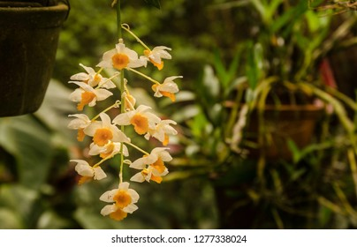 Typical orchid flower from tropical Brazilian florest and fauna cultivated in a particular garden