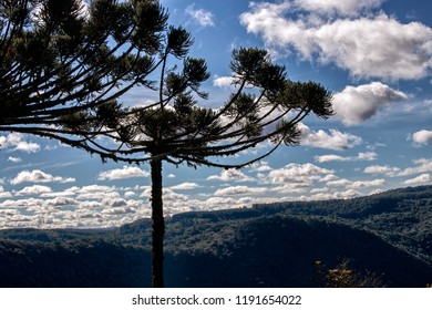 The typical pine tree in southern Brazil. Araucaria angustifolia, the Paraná pine, Brazilian pine or candelabra tree.