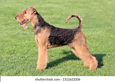 The typical portrait of Airedale Terrier in the spring garden