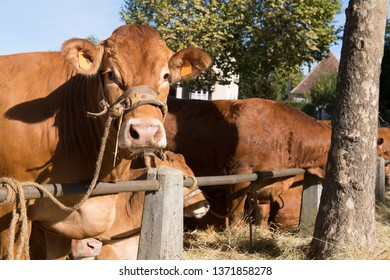 Typical red brown Limousin cows at the market