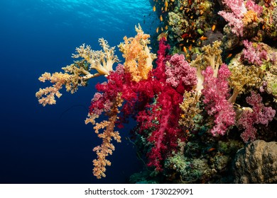typical Red Sea tropical reef with hard and soft coral surrounded by school of orange anthias