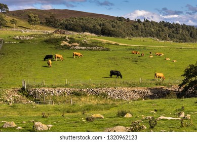 typical, rural landscape with farms, pastures, cattle Highlands Scotland