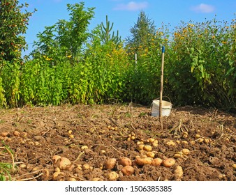Typical Russian landscape with harvesting potatoes in a garden plot or dacha on a sunny autumn day. Freshly dug potatoes on soil with plastic bucket and pitchfork on the field