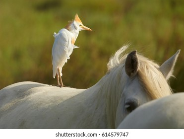 Typical scene from marshes and wetlands of the Rhône delta. Water bird Cattle egret, Bubulcus ibis, white heron standing on white camargue horse against blurred green background. Camargue, France.