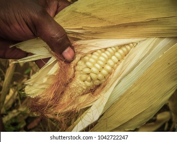 A typical small maize field from small farmers in tanzania
