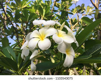 Typical srilankan and balinese flower