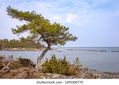 Typical for the Swedish archipelago coast are the stones cut by glaciers and the small pines and other shrubs.