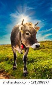 Typical swiss cow under blue sky and sunrays, switzerland