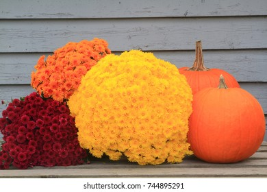 Typical symbols of Fall (Autumn) season, Thanksgiving and Harvest celebration, big orange pumpkins and fall flowers (Fall Mums). Picture can be used as background