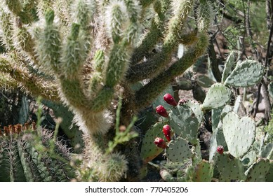 Typical vegetation of the Sonoran desert, including teddy bear cholla, prickly pear, barrel cactus and mesquite