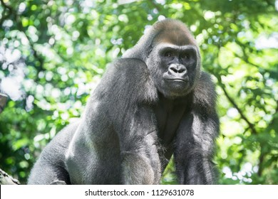 Typical Western Lowland Gorilla among leafy trees.