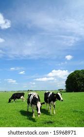 Typically dutch scenery with grazing livestock.