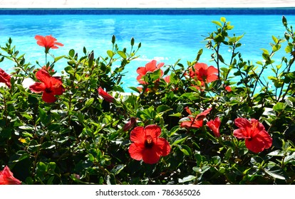typicla hibiscus flowers in Gran Canaria by a pool side