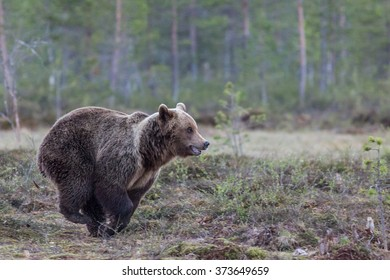 Typing Brown Bear running over a wet bog in Eastern Finland.
