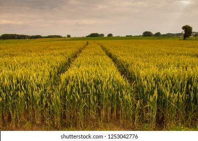 Tyre Tracks running through a wheat field in east-flanders, Belgium, around the golden hour. Summer of 2016