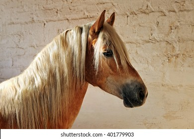 Tyrolean Haflinger horse standing in stall, North Tyrol, Austria