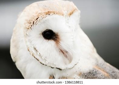 Tyto alba, European Barn Owl