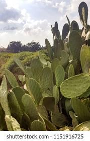 Tzabar plant, fruit sabras, cactus