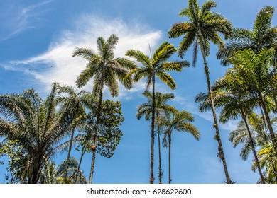 ubatuba beach palms