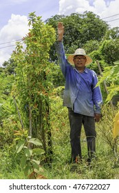 Ubon Ratchathani, Thailand - August 29, 2016 : Mr.Montree Chuensanguan standing near the peppers be planted himself. it is much higher than normal.On August 29, 2016,Ubon Ratchathani, Thailand.