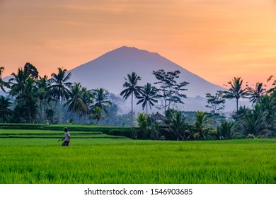 Ubud, Bali / Indonesia - 2019 October 13 : Morning view Ubud ricefield landscape with farmer blurry.