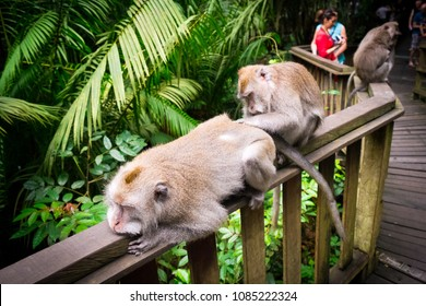 Ubud, Bali / Indonesia - December 29 2017: 2 monkeys relaxing and cleaning themselves on a fence
