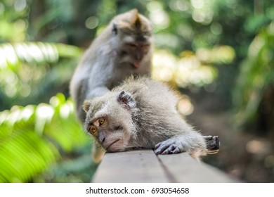 Ubud, Bali, July 26, 2016: Sacred Monkey Forest in Ubud, Indonesia, is home to a huge clan of Balinese long-tailed macaques, otherwise known as macaca fascicularis.