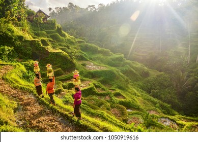 Ubud, Bali - July 29, 2016: Illustrative Editorial. Showing traditional Balinese women's ceremonial clothing and baskets of Hindu temple offerings, walking through typical Asian terraced rice paddies.