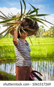 Ubud, Indonesia - February 28, 2016: Woman farmer carrying crops on her head on the rice filends in Ubud, Bali, Indonesia on February 28, 2016.