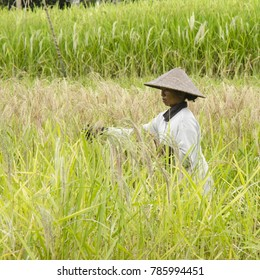 UBUD, INDONESIA - MARCH 17: a Balinese woman harvests rice on March 17, 2017 near Ubud, Indonesia. Ubud is one of the most popular tourist destinations on Indonesia's Bali.