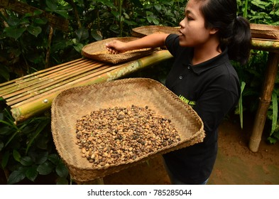 UBUD, INDONESIA - MARCH 17: a coffee plantation tour guide with coffee beans on March 17, 2017 near Ubud, Indonesia. Ubud is one of the most popular tourist destinations on Indonesia's Bali.