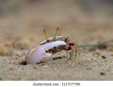 Uca vocans, Fiddler Crab walking in mangrove forest at Phuket beach, Thailand