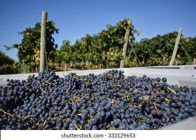 Uco Valley, Mendoza, Argentina, March 4, 2015: Juicy grapes are piled high in plastic crates during the harvest at a vineyard in the Uco Valley, one of Mendoza's most prominent wine-making regions.
