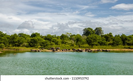 Udawalawe National Park - Buffaloes