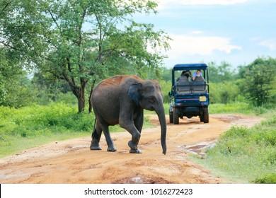 Udawalawe, Sri Lanka - December 15, 2017: Elephants are passing by front of the tourist group in Udawalawe National Park - Sri Lanka on December 15, 2017