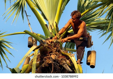 Udorn Thani province Thailand , Feb. 25 - 2018 : Unidentified Thai man on sugar palm for make sugar sweet by old method in Thailand.