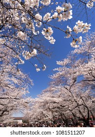 Ueno Park where cherry blossoms are in full bloom