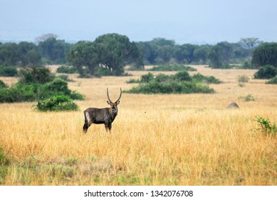 Uganda. Alone male of  antelope Waterbuck at Queen Elizabeth National Park at early morning