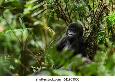 Uganda. Close up Portrait of a mountain gorilla (Gorilla beringei beringei) at a short distance in natural habitat. Green natural background. Forest National Park. Uganda. Africa