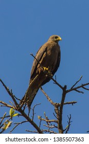 Uganda eagle in its natural habitat. Most probably a male black kite, Milvus migrans,. This bird is a medium-sized bird of prey in the family Accipitridae. A brown bird with the yellow beak in a tree